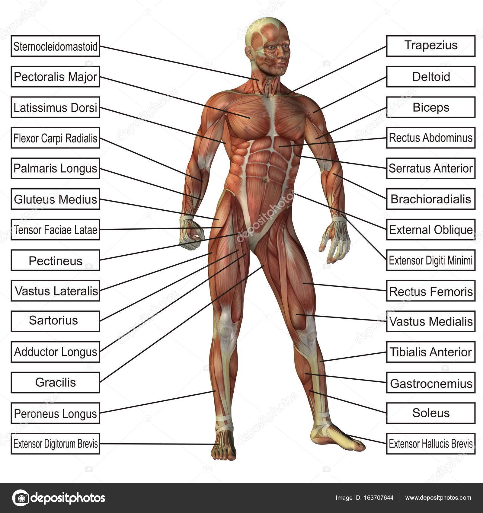 Ilustración cuerpo humano 3D — Foto de stock © design36 #163707644