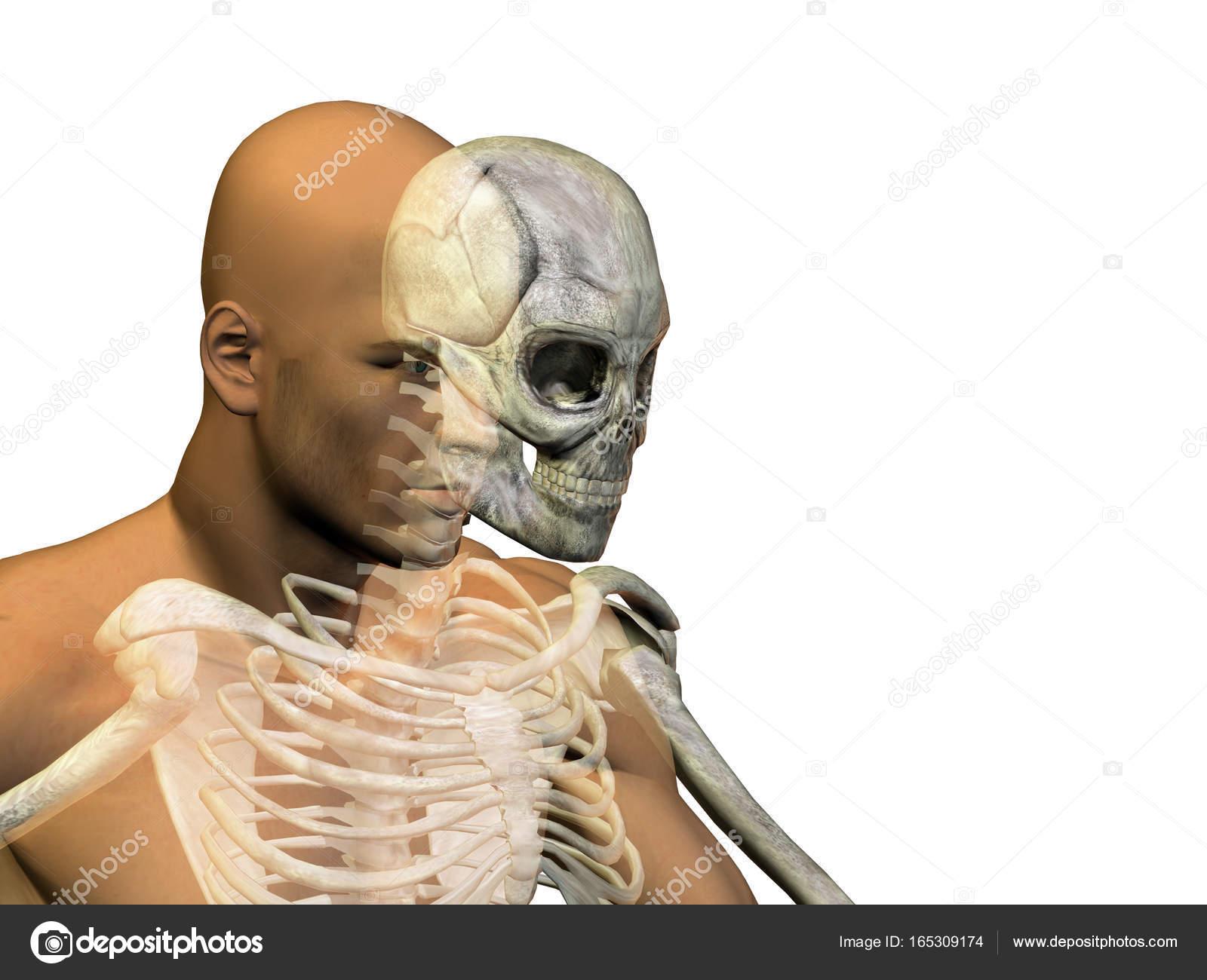 Atemberaubend 3d Kopf Anatomie Fotos - Menschliche Anatomie Bilder ...