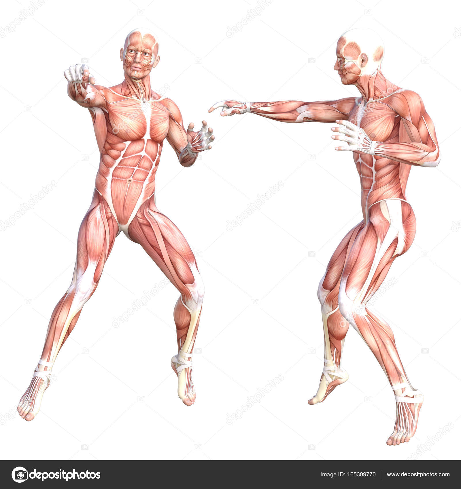Conceptual anatomy healthy skinless human body muscle system set ...