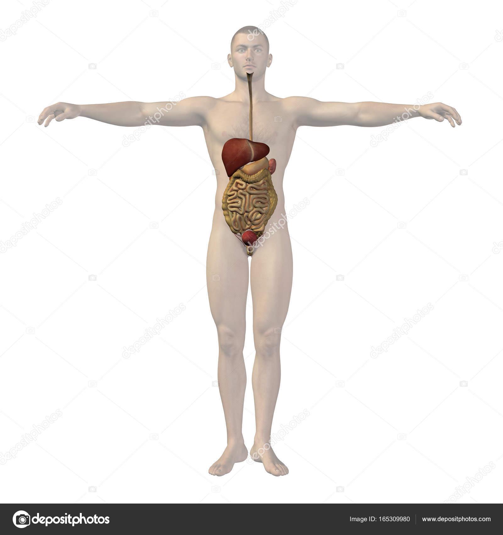 Concept of conceptuele anatomische mens of man 3d ...