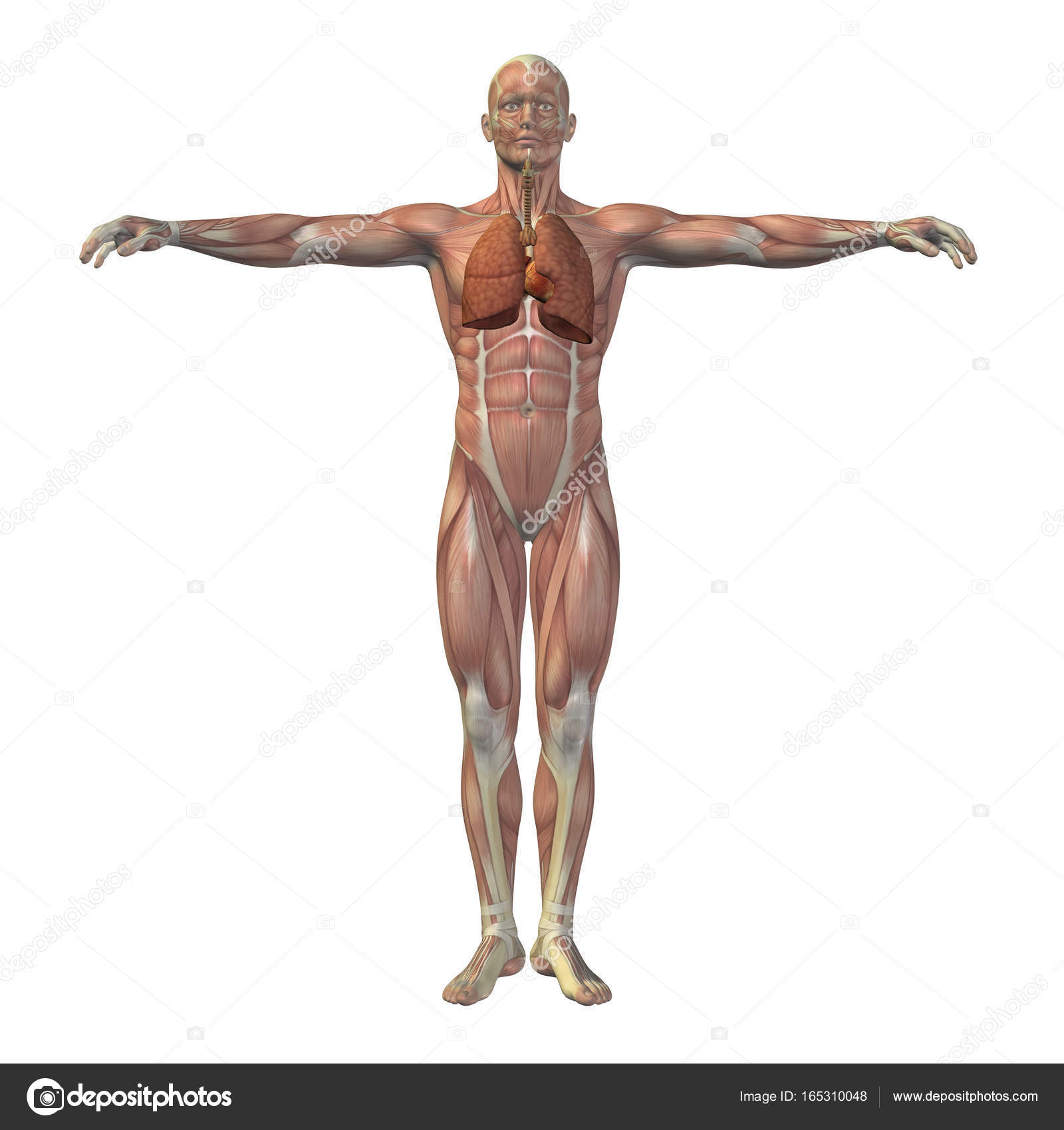 Concept conceptual 3D human man structure with internal organs ...