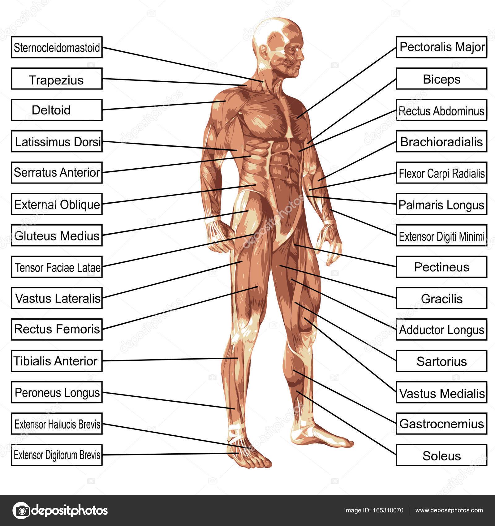 Músculo y la anatomía humana 3d conceptual concepto aislaron sobre ...