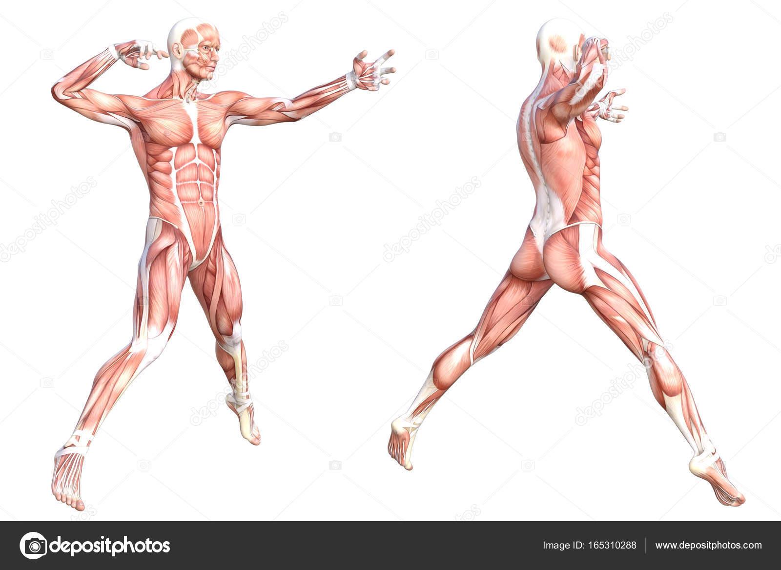 Konzeptionelle Anatomie gesunde hautlosen Körpers Muskel System ...
