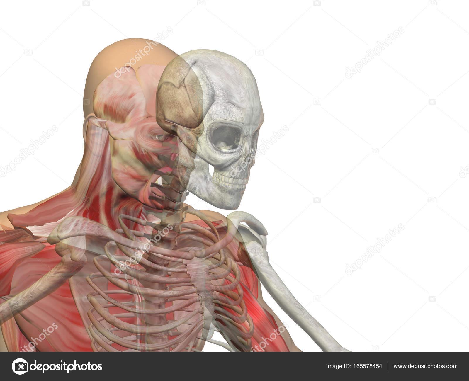 Anatomía concepto 3d ilustración de hombre humano salud cuerpo del ...