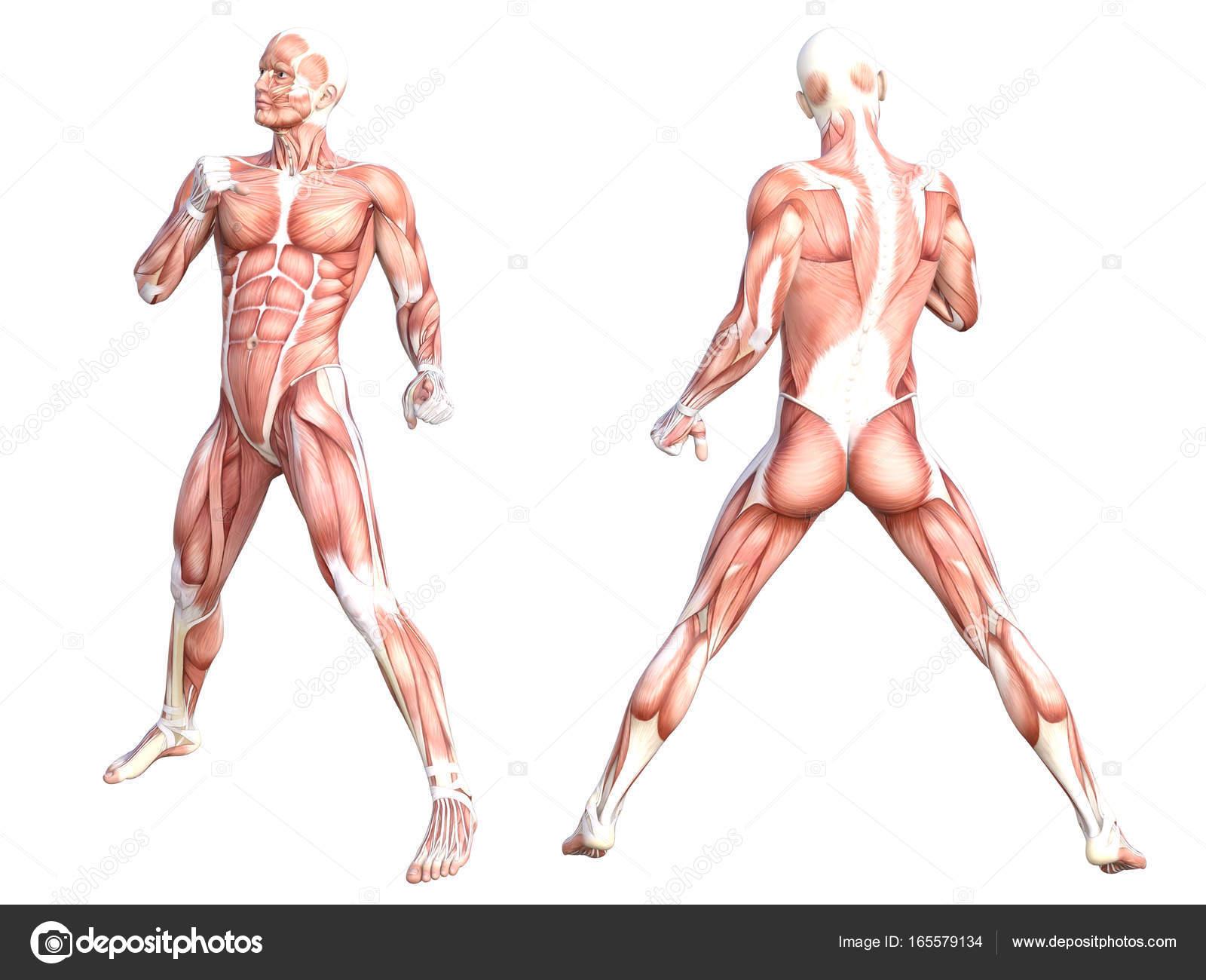 Músculo del cuerpo humano sin piel sana anatomía conceptual sistema ...