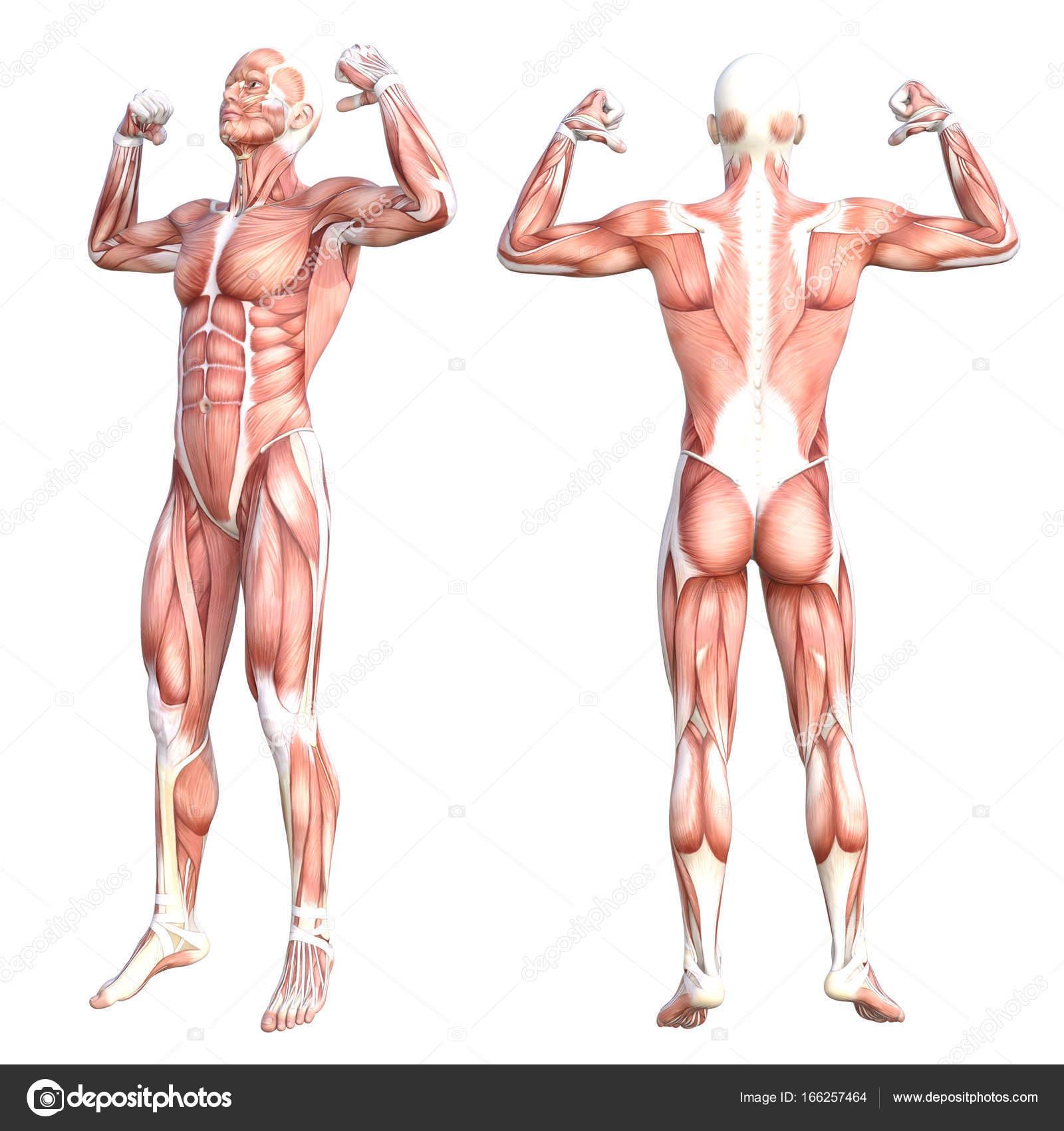 grundlegende menschliche Anatomie — Stockfoto © design36 #166257464