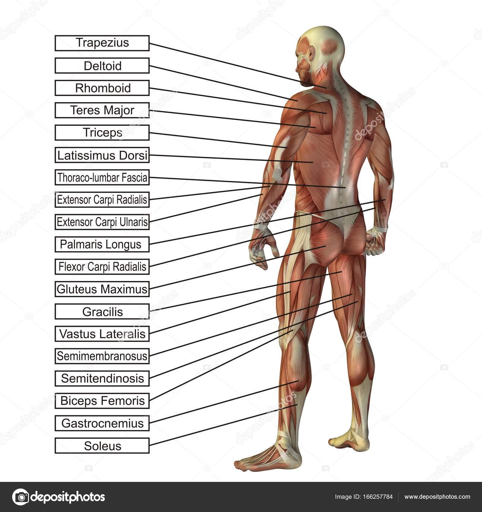 Konzeptionelle 3d Anatomie des Menschen — Stockfoto © design36 ...