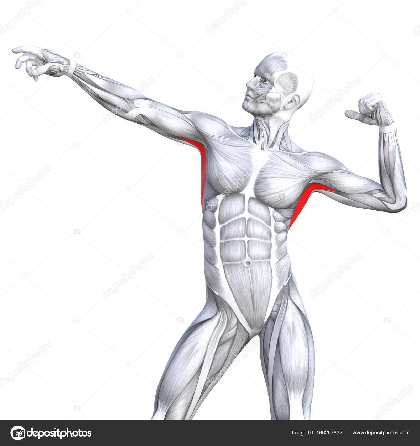 grundlegende menschliche Anatomie — Stockfoto © design36 #166257832