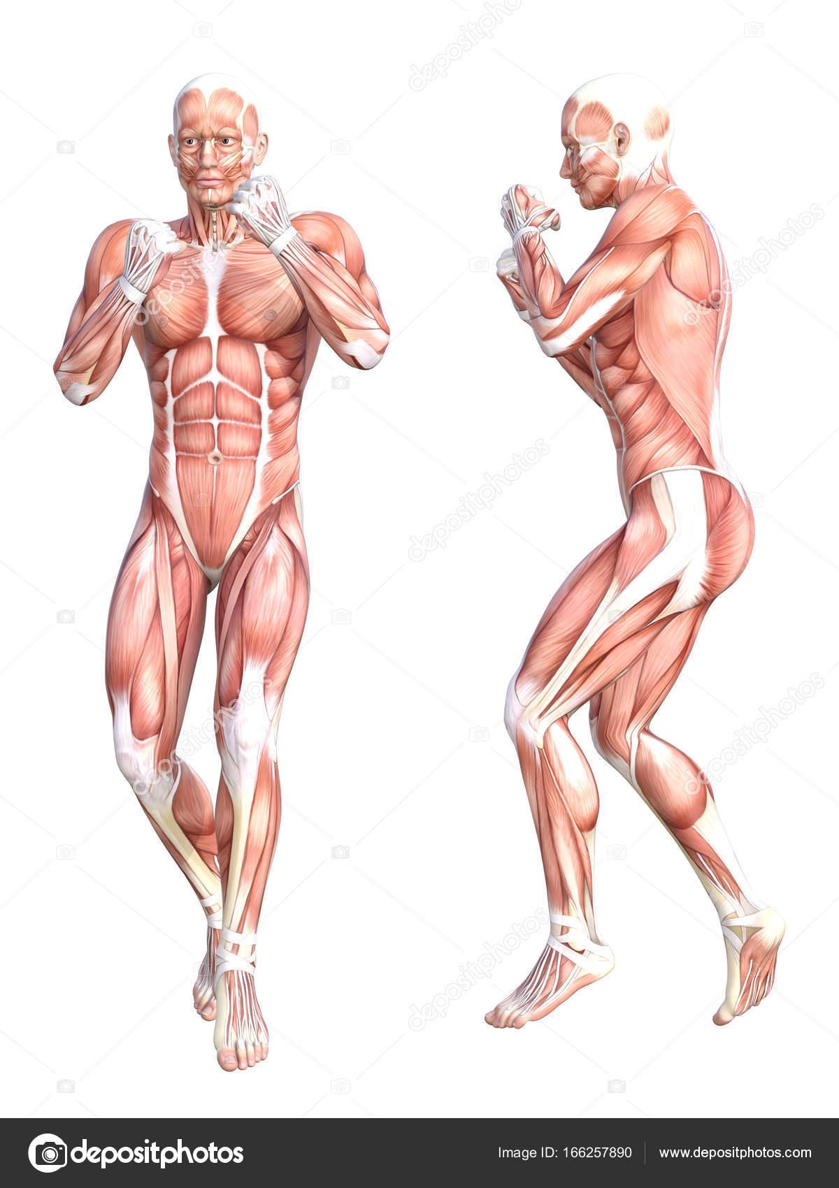 grundlegende menschliche Anatomie — Stockfoto © design36 #166257890