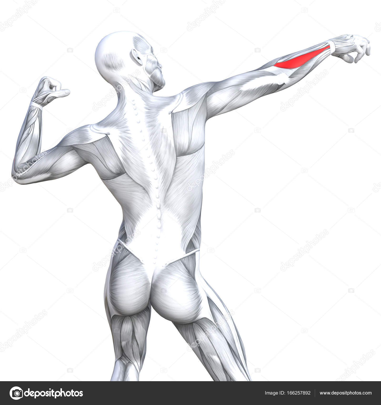 grundlegende menschliche Anatomie — Stockfoto © design36 #166257892