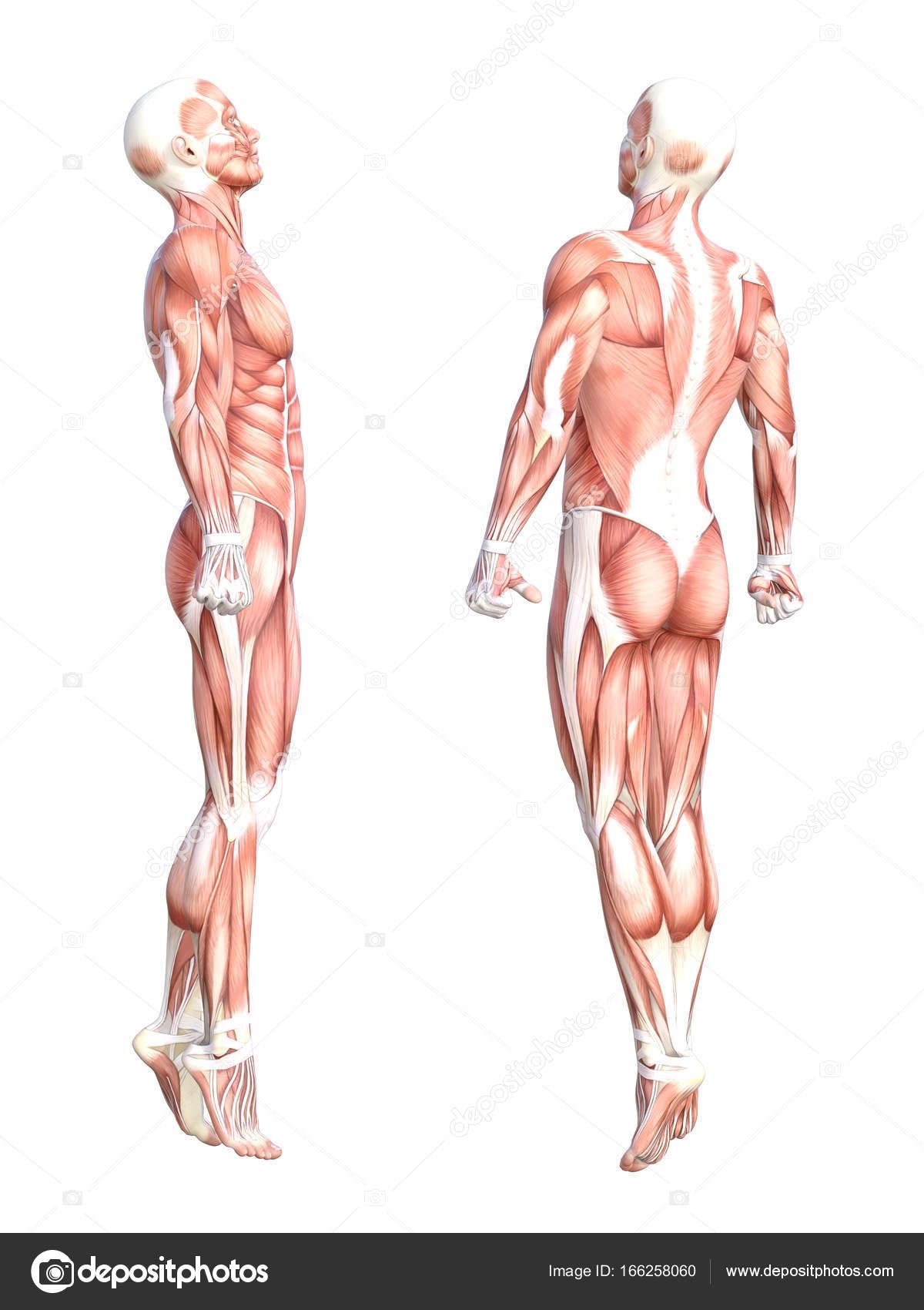 grundlegende menschliche Anatomie — Stockfoto © design36 #166258060