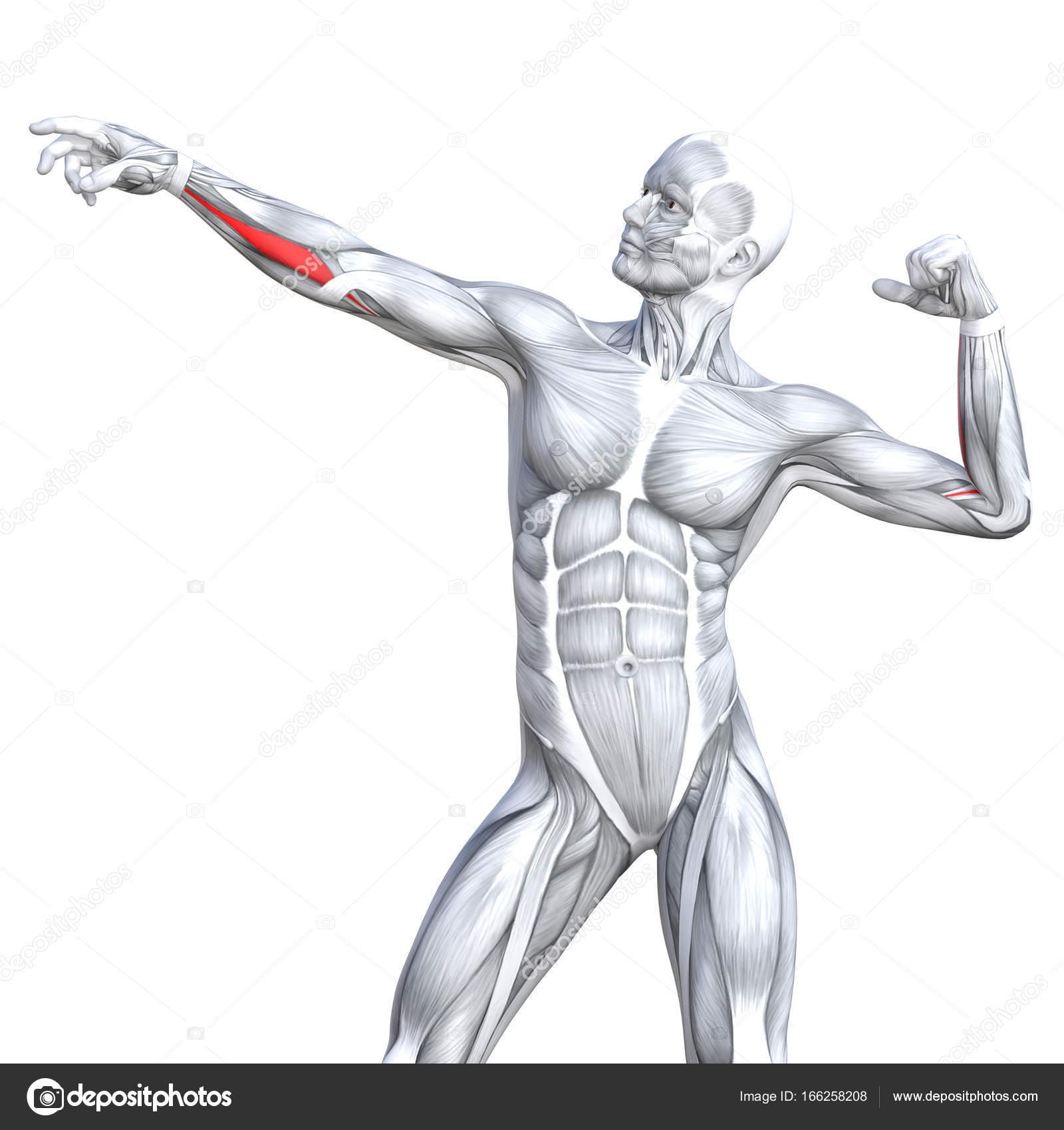 grundlegende menschliche Anatomie — Stockfoto © design36 #166258208