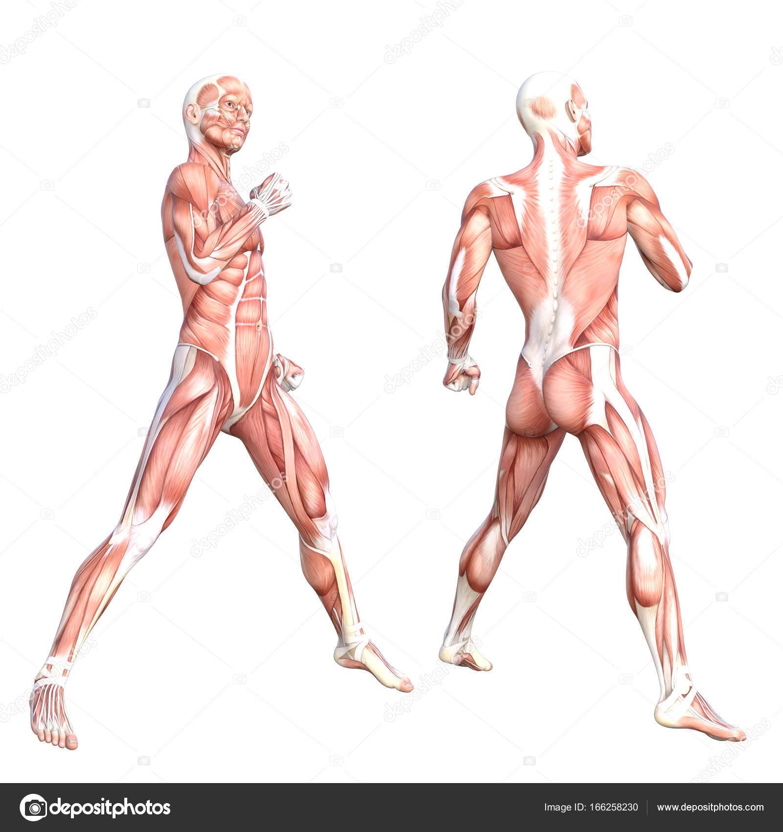grundlegende menschliche Anatomie — Stockfoto © design36 #166258230