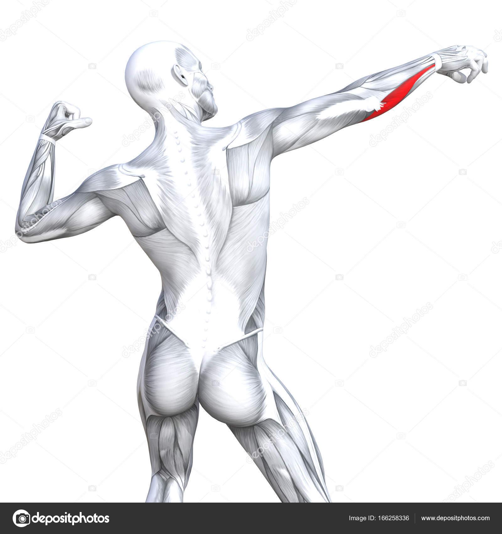 grundlegende menschliche Anatomie — Stockfoto © design36 #166258336