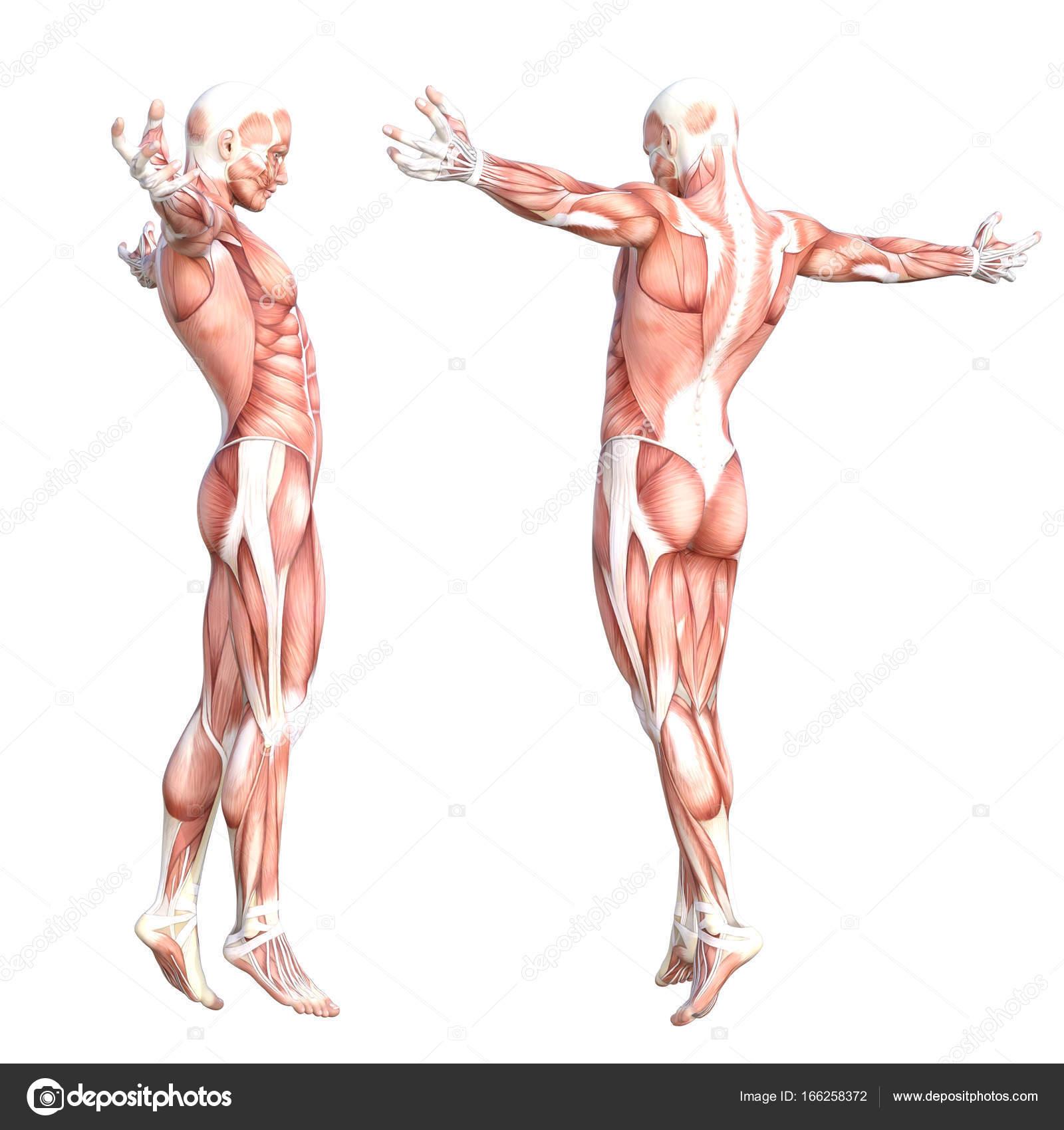 grundlegende menschliche Anatomie — Stockfoto © design36 #166258372
