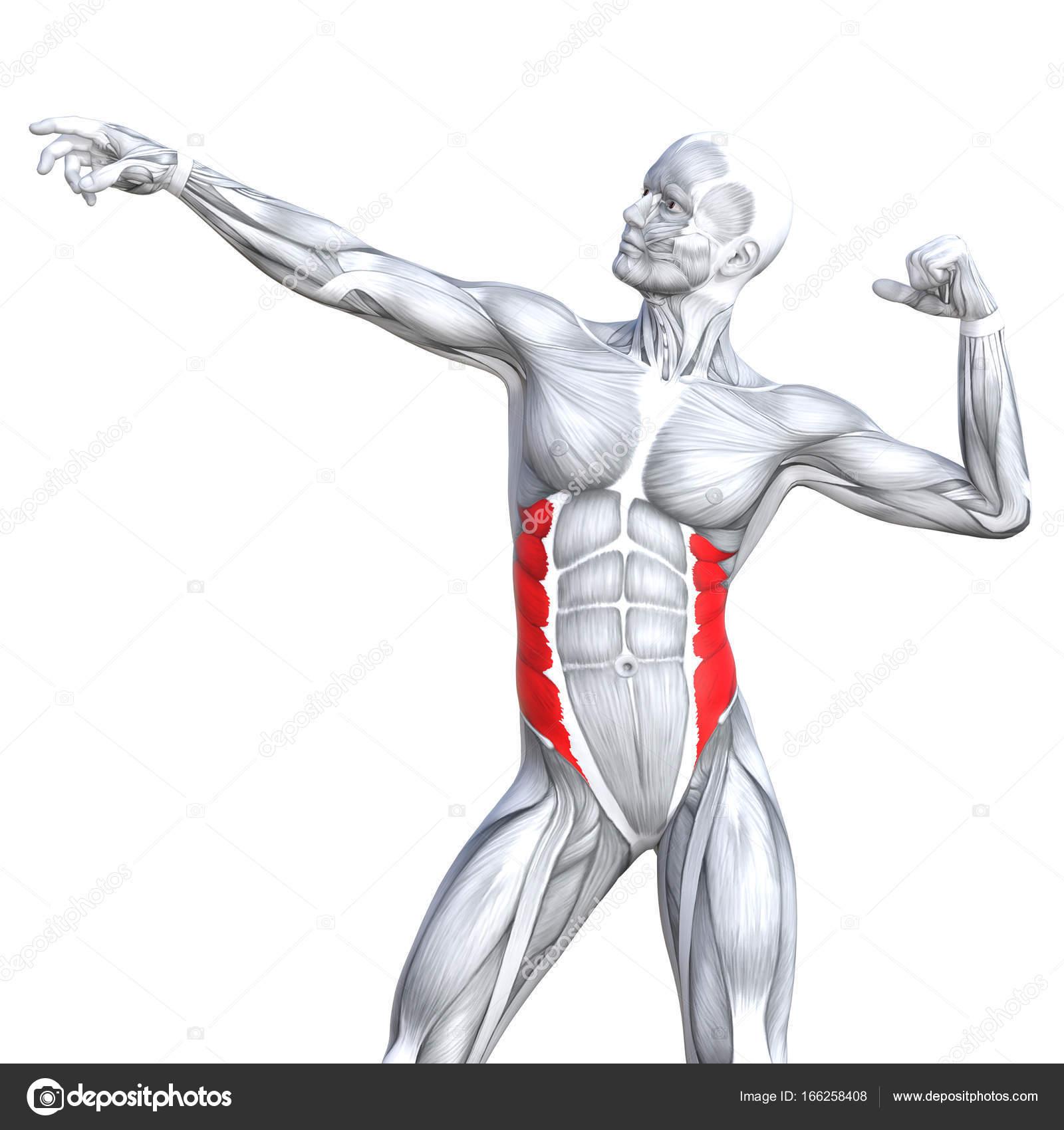 grundlegende menschliche Anatomie — Stockfoto © design36 #166258408