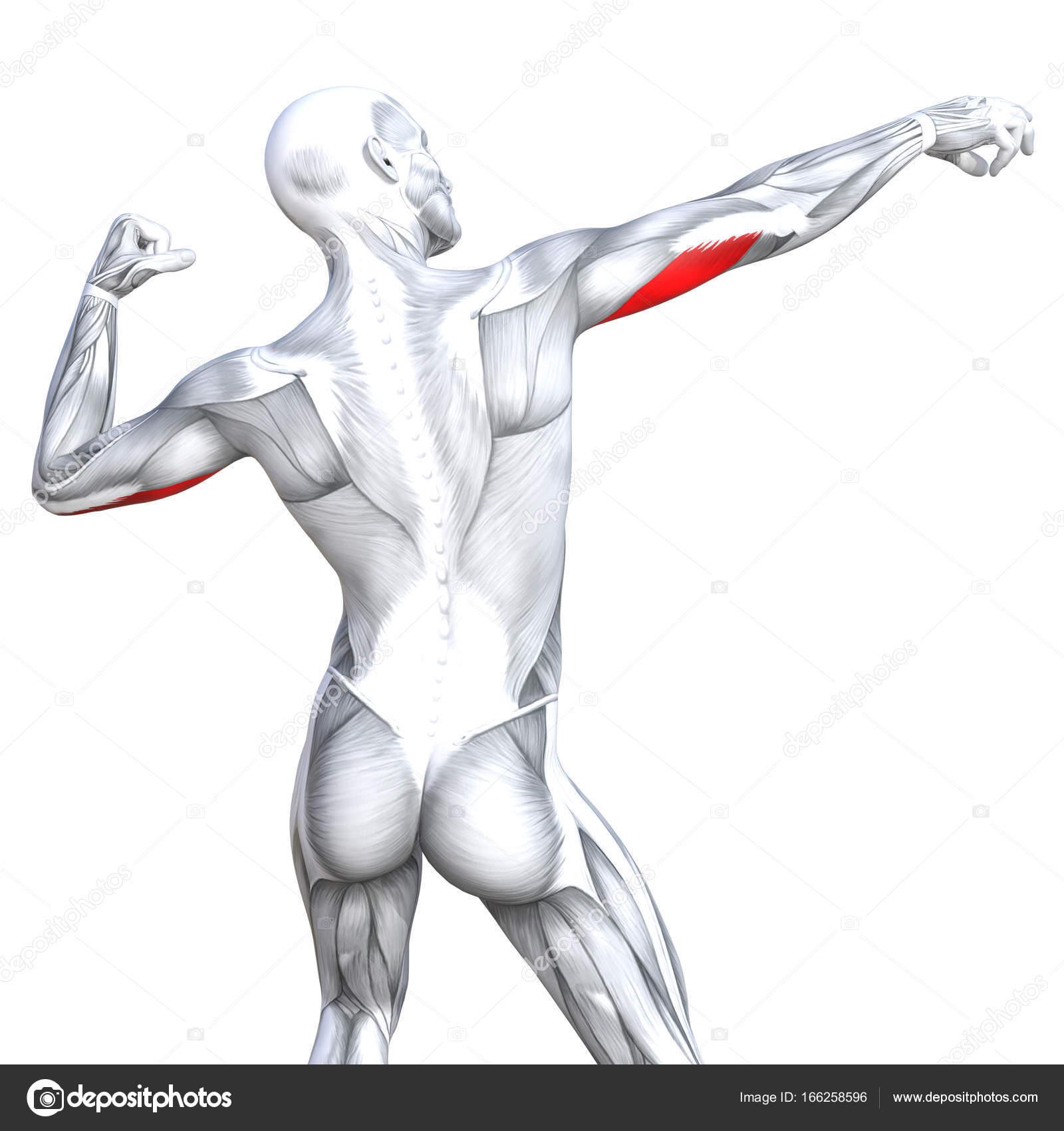 grundlegende menschliche Anatomie — Stockfoto © design36 #166258596