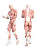 grundlegende menschliche Anatomie