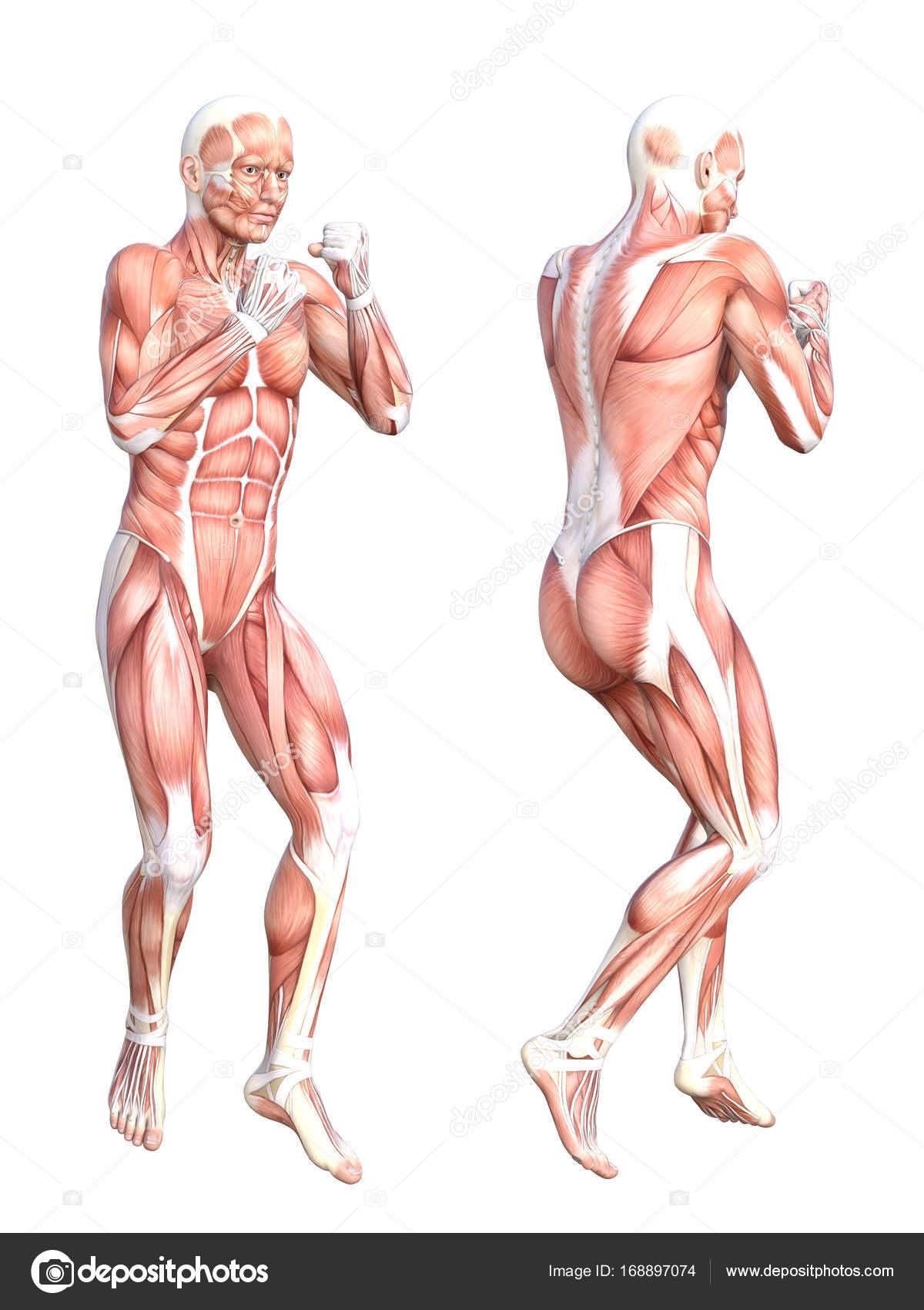 Sistema muscular humano sin piel — Fotos de Stock © design36 #168897074