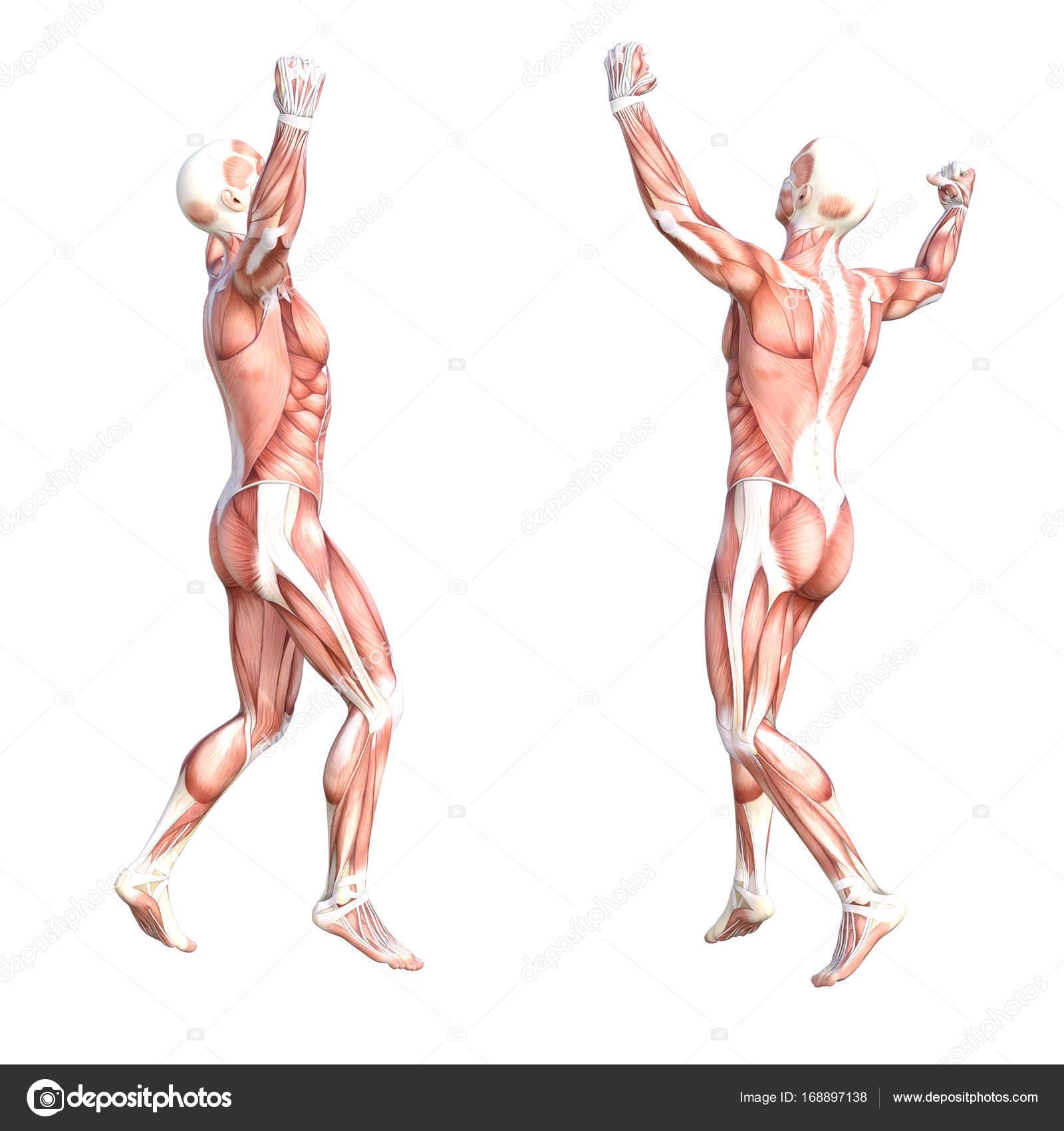 Wunderbar Muskeln System Zeitgenössisch - Menschliche Anatomie ...