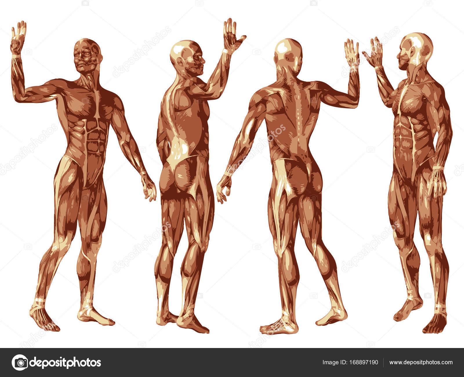 Conceptual de la anatomía del sistema muscular — Fotos de Stock ...