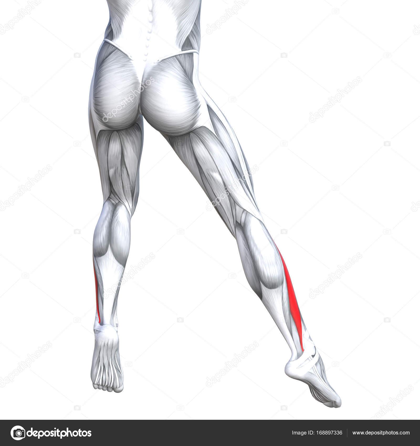 Ilustración de la anatomía de la pierna fuerte ajuste — Foto de ...