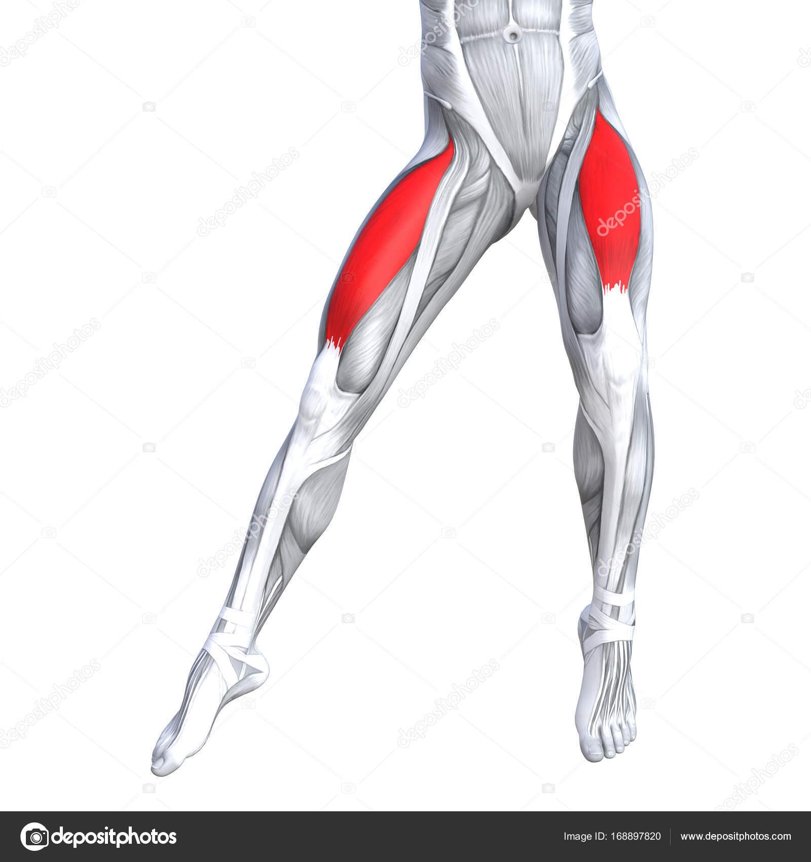 Abbildung der Fit starken Bein Anatomie — Stockfoto © design36 ...