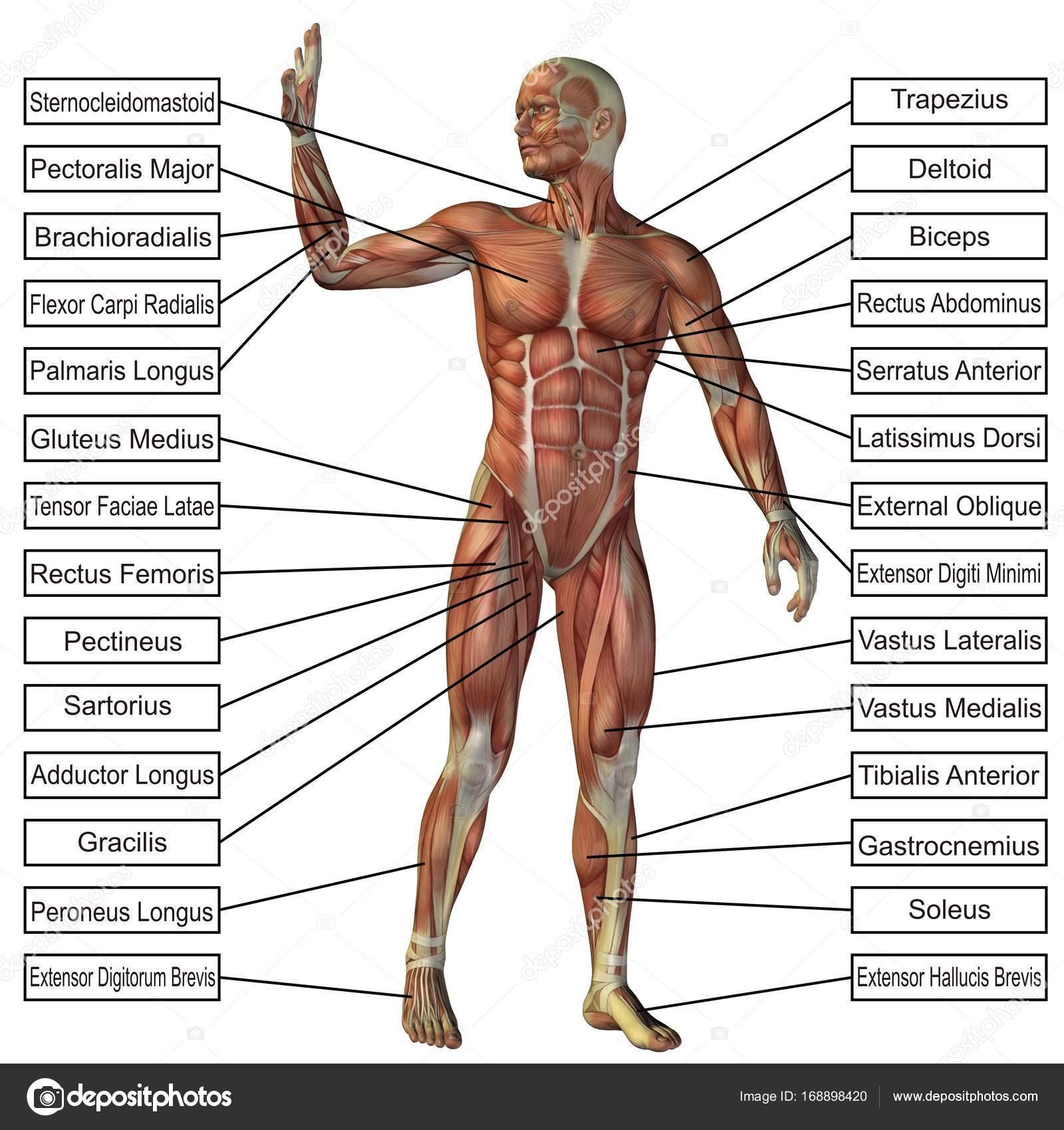 Concepto o conceptual 3d anatomía humana y músculo aislaron sobre ...