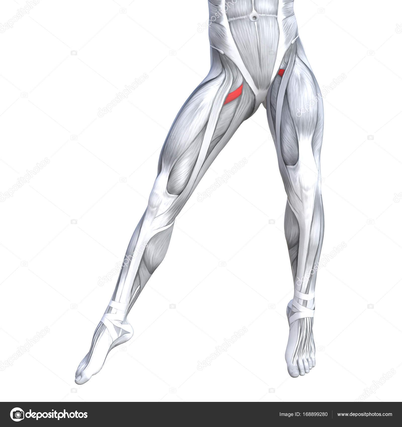 Ilustración de la anatomía de la pierna fuerte ajuste — Fotos de ...