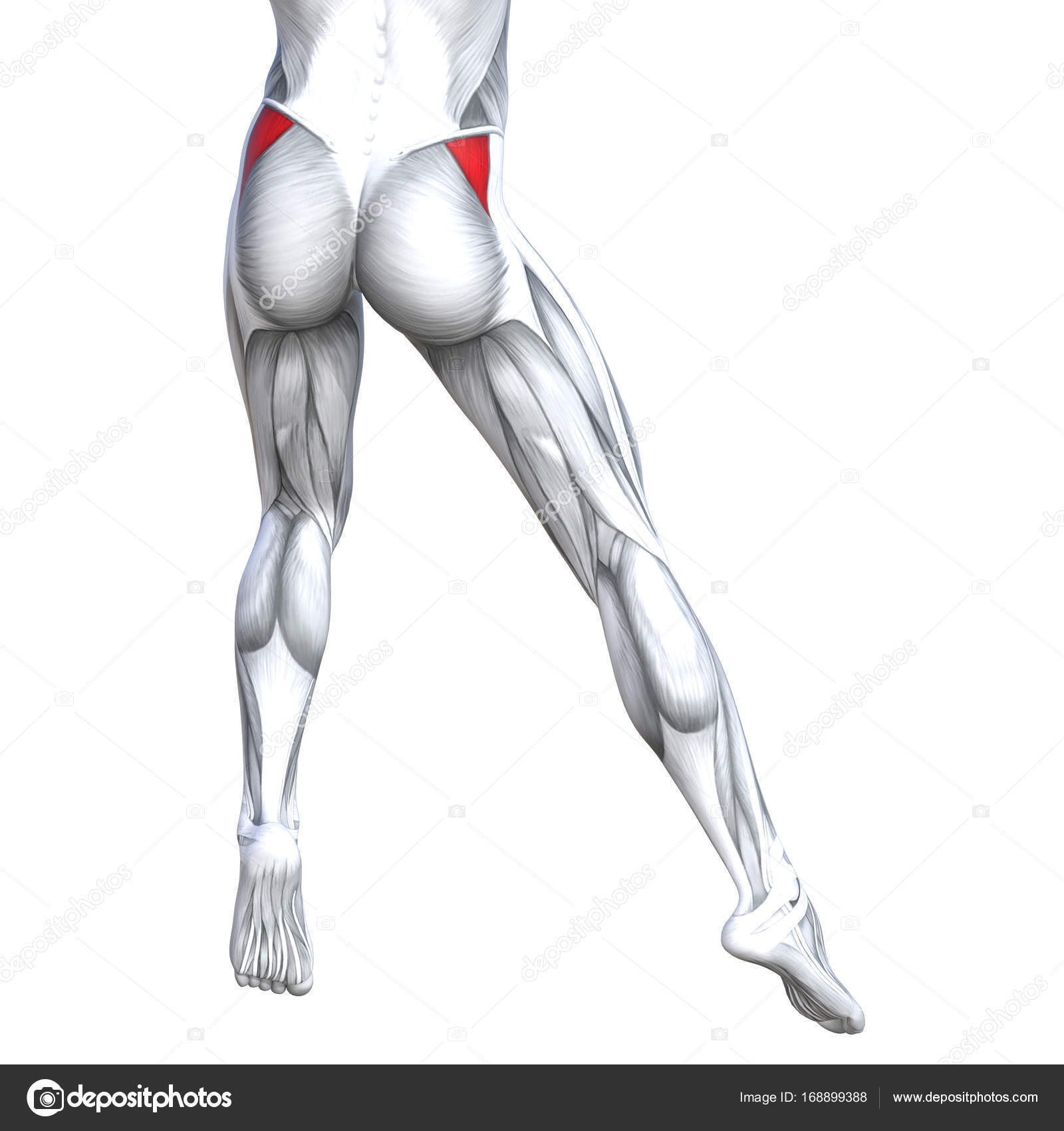 Illustration of fit strong leg anatomy — Stock Photo © design36 ...