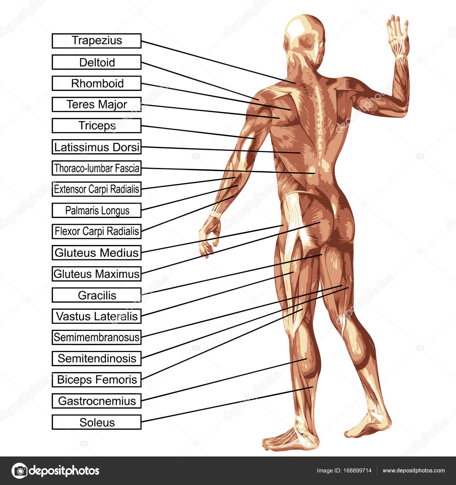 Konzept oder konzeptionelle 3d Anatomie und Muskeln isoliert auf ...