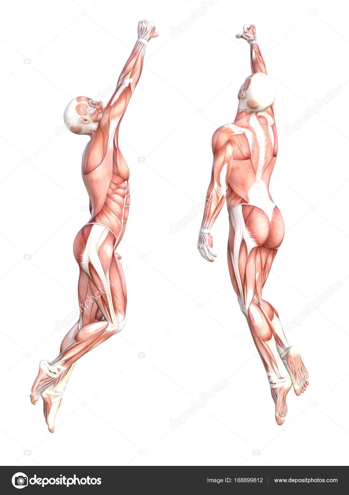 Konzeptionelle Anatomie Muskel System set — Stockfoto © design36 ...