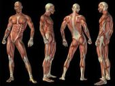 Conceptual anatomy muscle system set
