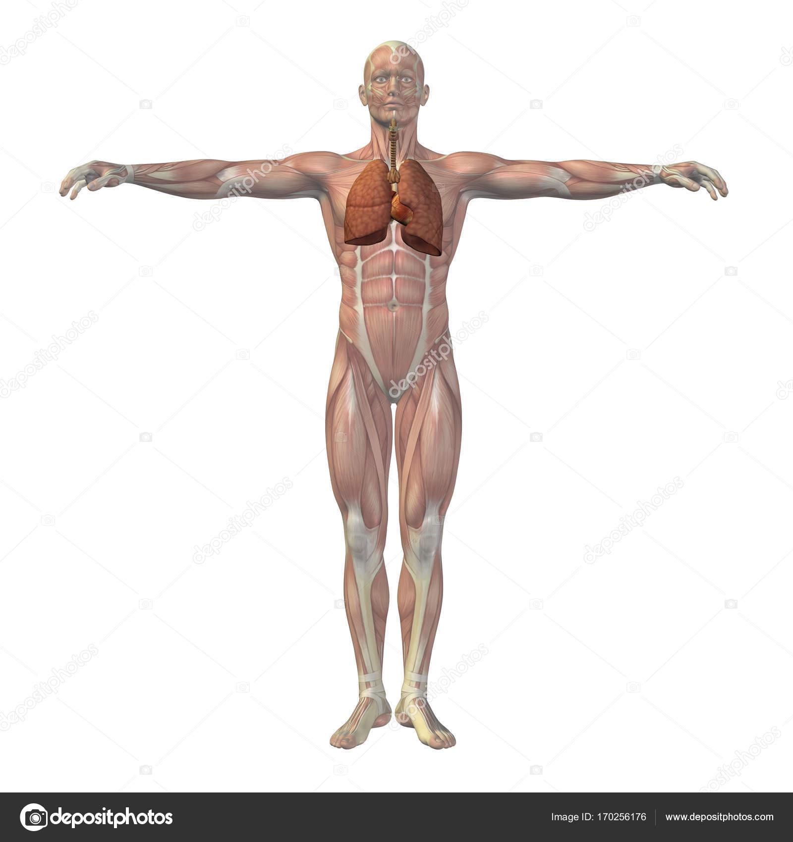 Conceptual Man 3d Anatomy Stock Photo Design36 170256176
