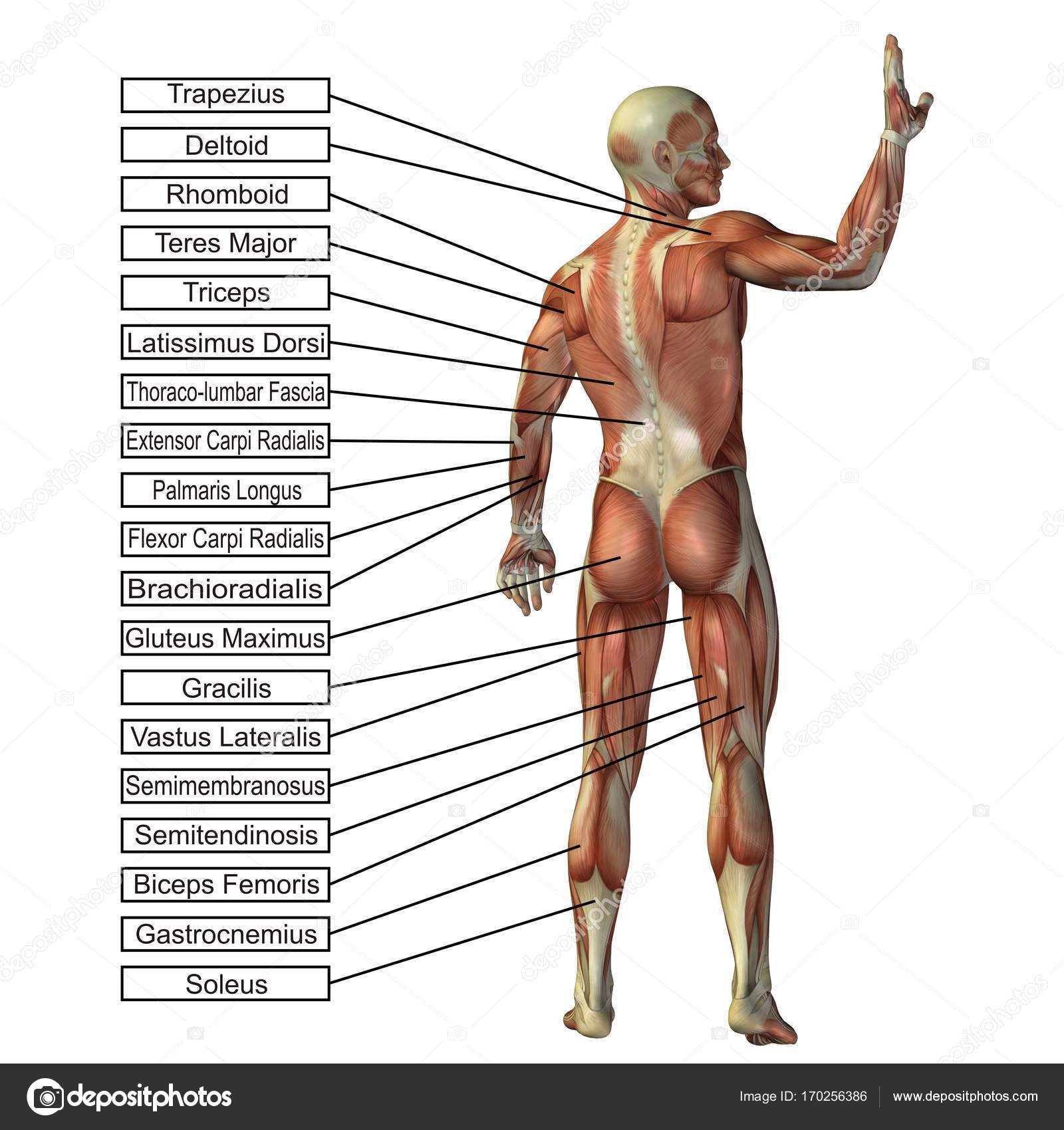 Conceptual man 3D anatomy — Stock Photo © design36 #170256386