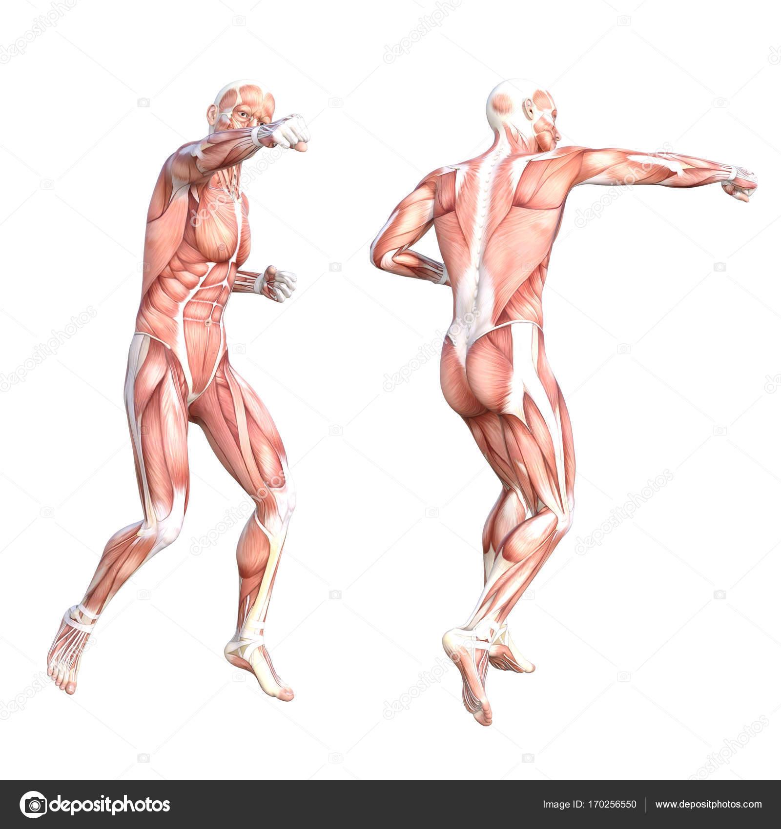 Menschlichen Körper-Muskel-system — Stockfoto © design36 #170256550