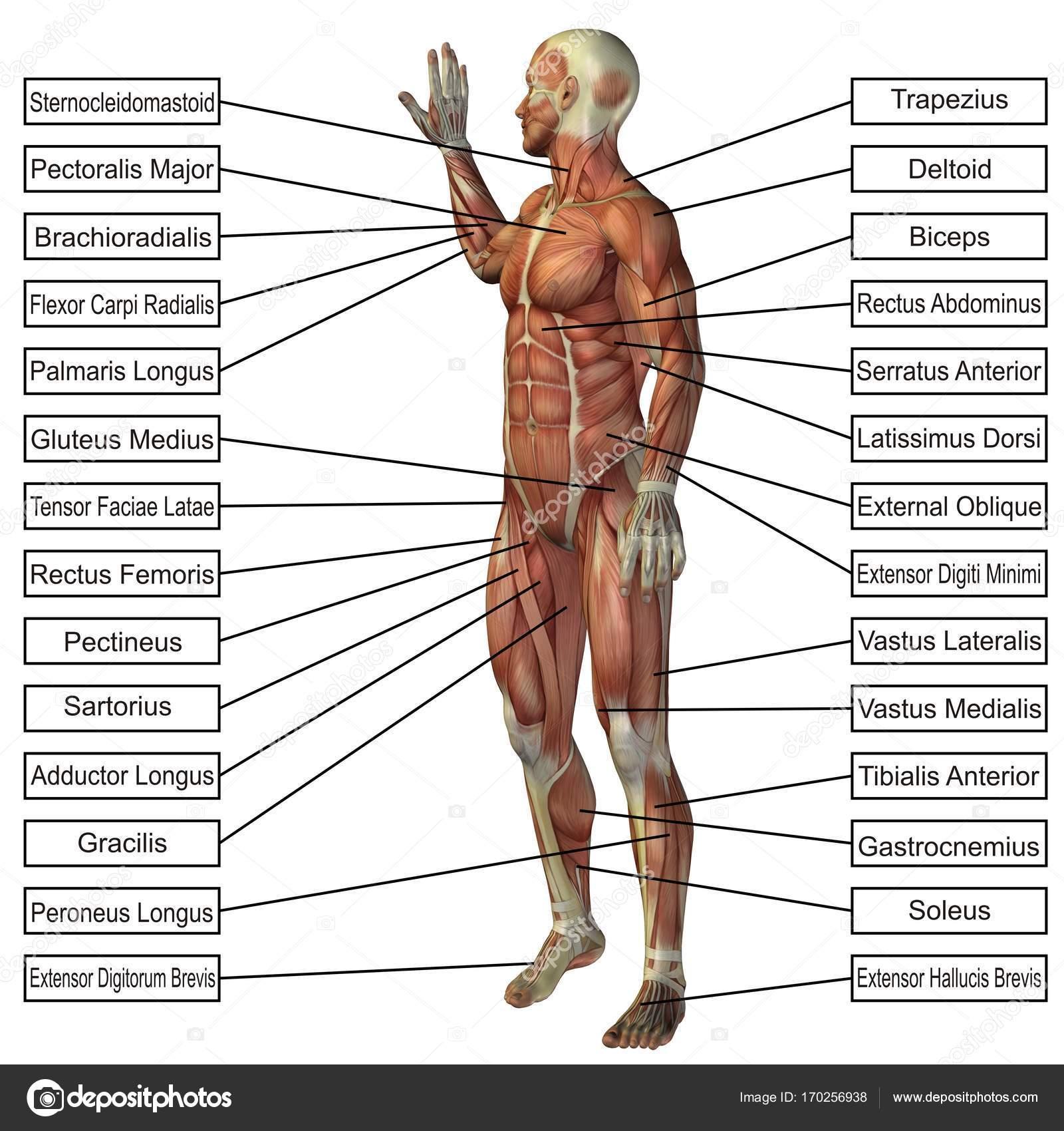 Conceptual man 3D anatomy — Stock Photo © design36 #170256938