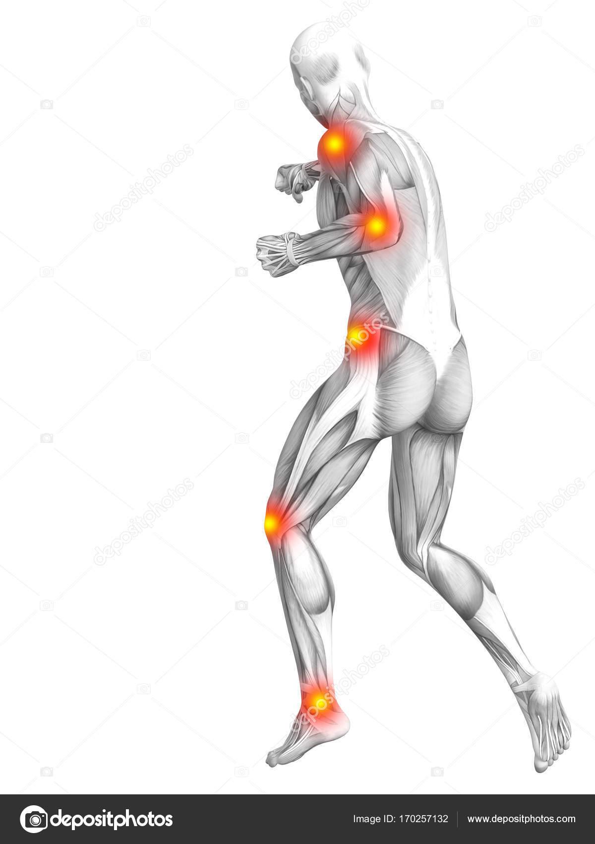 menschlichen Muskel-Anatomie — Stockfoto © design36 #170257132