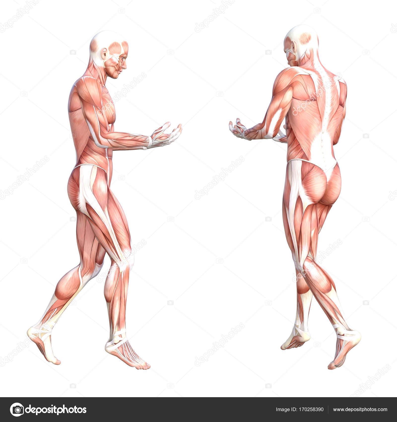 Menschlichen Körper-Muskel-system — Stockfoto © design36 #170258390