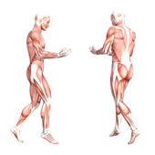 Systém svalů lidského těla
