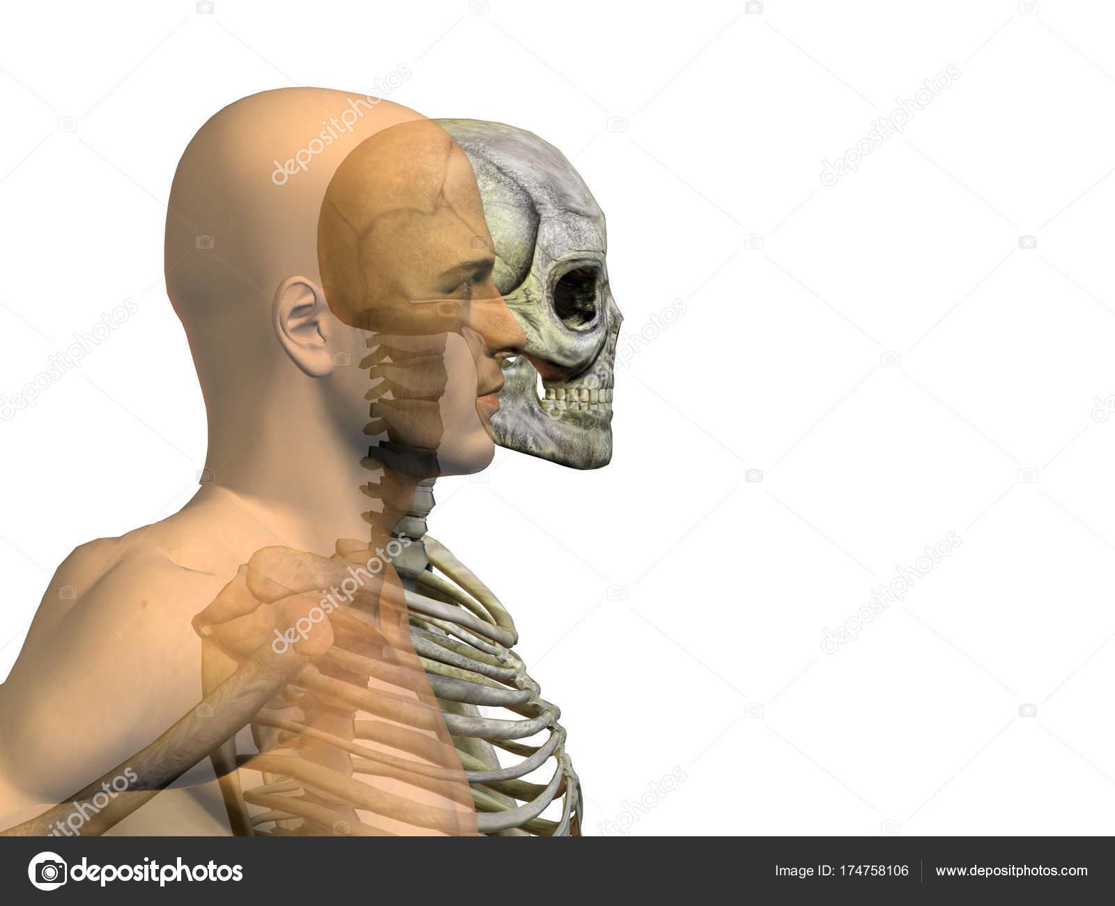 Konzeptionelle Mensch Mit Skelett Und Schädel Anatomie Konzept ...