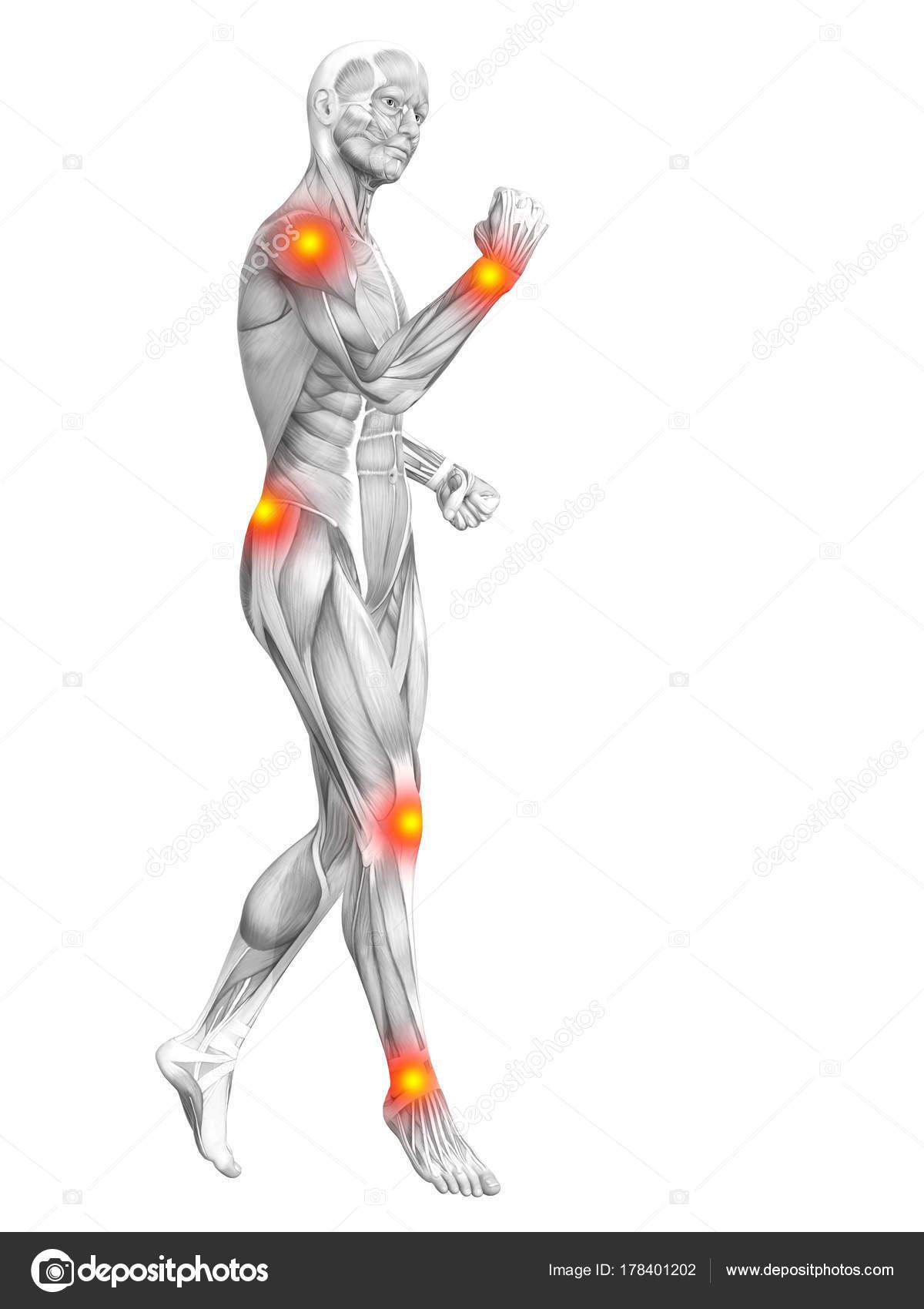 Excelente Anatomía Muscular Hoja De Etiquetado Friso - Imágenes de ...