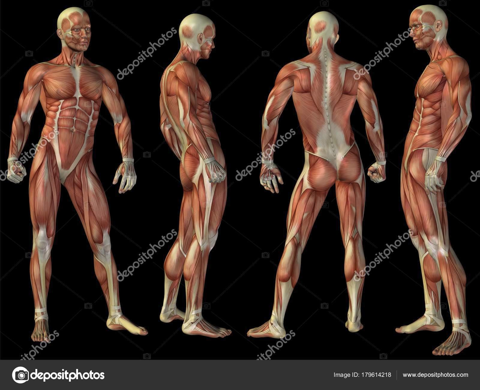 Concepto de alta resolución o conceptual humano o cuerpo de anatomía ...