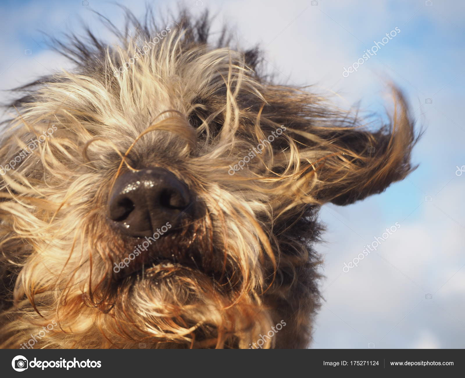 Portrait Mixed Breed Long Haired Dog Hairs Ears Blowing Wind