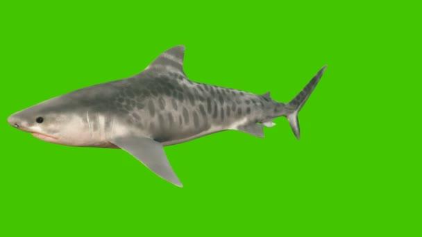 Ein großer Hai schwimmt unter Wasser mit einem weit geöffneten Maul voller scharfer gefährlicher Zähne. 3D Animation mit grünem Bildschirm.