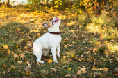 Portrait of a French bulldog ginger and white color against the background of autumn leaves and grass