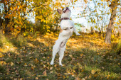 Portrait of a French bulldog jumping, flying and standing on its hind legs on autumn leaves and grass background