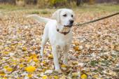 žlutý labrador v parku na podzimní procházce na vodítku