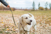 yellow labrador in the park in autumn walk on a leash