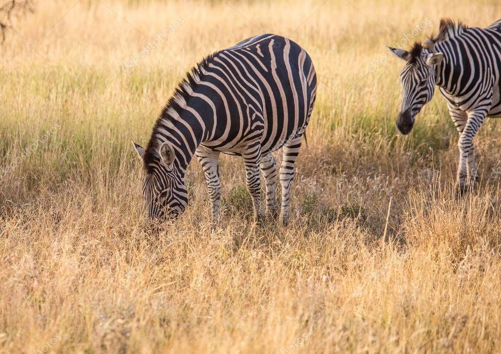 Plains Zebra at the Kruger National Park in South Africa